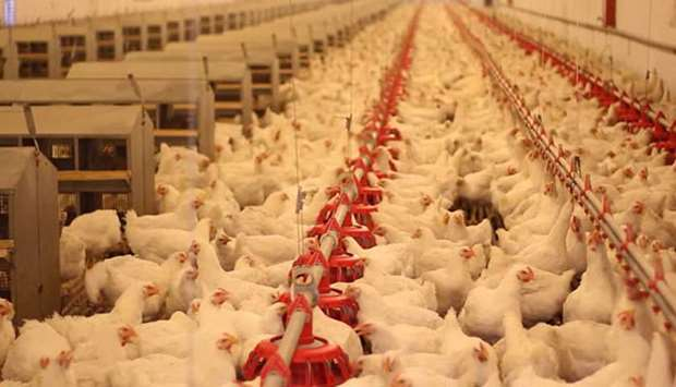 Al Rayan Poultry To Produce 70 000 Tonnes Of Meat 250mn