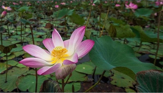 After 10 year gap lotuses bloom again in thailand lotus flowers blossom in the khao sam roi yot national park in southern thailand mightylinksfo