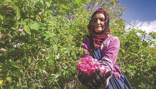 File photo shows a worker harvest roses in a field by the city of Kelaat Mgouna in Morocco's central