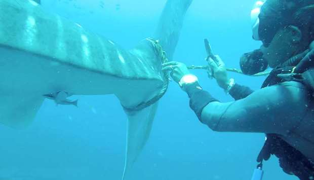 Video captures Thai divers effort to free distressed shark