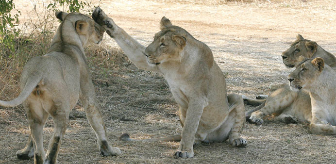 Census of Asiatic lions begins in Gir