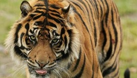 Woman mauled by tiger to sue Beijing wildlife park