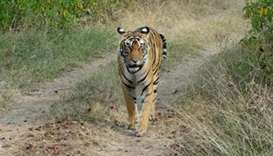 Rangers hunt 'man-eating' tiger in central India
