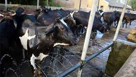 Uncertain future for cows as India shuts military farms