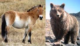 Przewalski  Horse and the Gobi Bear