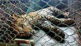 Leopard caught after 36 hours on prowl in Indian factory
