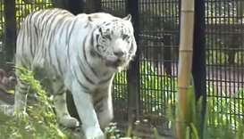 White tiger at Japanese zoo