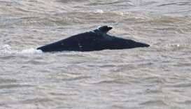 Humpback whale found dead in River Thames east of London