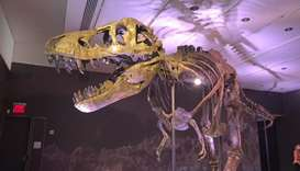 The fossil, nicknamed Stan, stands 13 feet high and 40 feet long, with puncture marks in the skull a