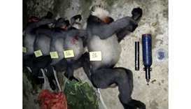 The bodies of critically endangered grey-shanked douc langurs reportedly killed by poachers in the B