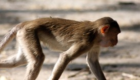 Baby in India stolen by monkey found dead in well