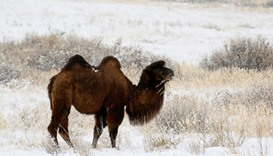 A camel grazes in the snowcovered steppe area near the town of Kyzyl in the Republic of Tuva, Russia