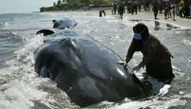 A veterinarian from the Nature Conservation Agency (BKSDA) examines a dead sperm whale, one of four