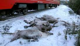 Over 100 reindeer killed on Norwegian railway tracks