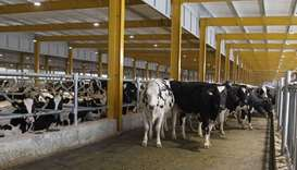 Cows are seen at Baladna farm near Al Khor, Qatar