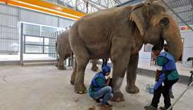 A handler bathes a female elephant