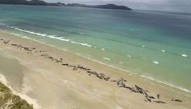 145 whales die on remote New Zealand beach