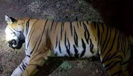 Man-eating tiger shot dead in India after massive hunt