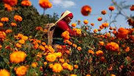 A woman picks marigold flowers