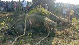 An elephant named after Al-Qaeda leader Osama bin Laden lies on the ground after been tranquilised b