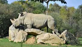Sana, a female white rhino strolls through its enclosure at the La Planete Sauvage zoological park i