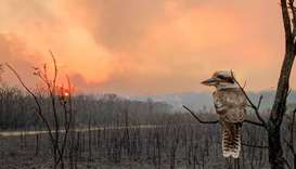 A kookaburra perches on a burnt tree in the aftermath of a bushfire in Wallabi Point, New South Wale