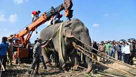 "The tranquilized wild Indian elephant nicknamed ""Osama bin Laden"" that killed five villagers during"