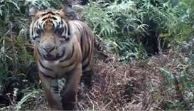 Sumatran tiger kills Indonesian farmer, injures tourist