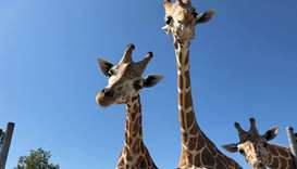 Three giraffes among animals killed in fire at US wildlife park