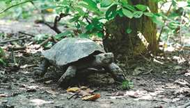 An Asian giant tortoise walks at the Turtle Conservation Centre at a forest reserve in Rajendrapur,