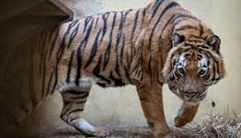 Stranded tigers recovering in Polish zoos