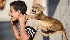 A Palestinian youth plays with one lion cub at his family house