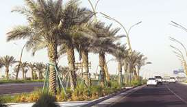 Date palms planted on the median of a highway. PICTURES: Shemeer Rasheed.