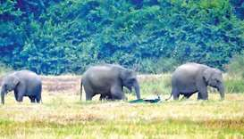 Wild elephants in a paddy field in Dadayanthalawa, Ampara, Sri Lanka. Picture courtesy of Daily News