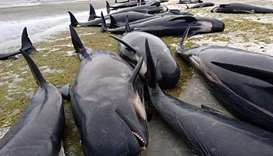 The dead bottlenose dolphins seen at the Chatham Islands