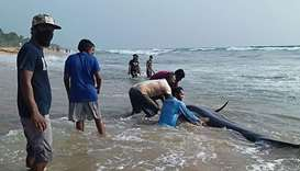 Sri Lankan volunteers try to push back a stranded short-finned pilot whale at the Panadura beach, 25