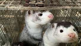 WHO says looking at mink farm biosecurity worldwide after Danish outbreak