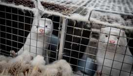 Mink look out from their cage at the farm of Henrik Nordgaard Hansen and Ann-Mona Kulsoe Larsen as t