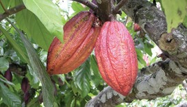 Sierra Leone is a tiny cocoa grower compared with the 1.8mn tonnes harvested in Ivory Coast, the wor