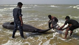 Indian fishermen try to drag a whale that washed ashore in Manapad in Tamil Nadu's Tuticorin distric
