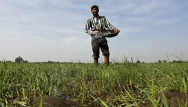 A farmer spreads fertilizer in his wheat field on the outskirts of Ahmedabad
