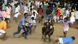 A bull charges through a crow of Indian participants and bystanders during Jallikattu
