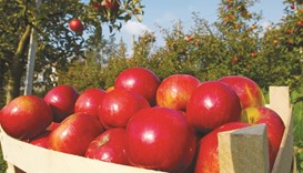 Fresh red apples in an orchard.