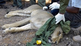KWS team members fit a satellite radio collar to a tranquilized lioness named Nyalla