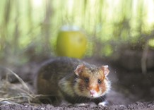 Corn diet turning French hamsters into deranged cannibals: research