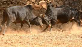 Bulls fight during Maghesangranti festival at Taraka, Nuwakot dist, Nepal