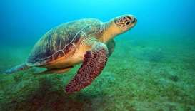 A Madagascar sea turtle