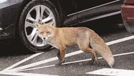 Foxes in British cities: A plague or an 'enrichment' of urban life?