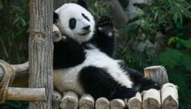 A female one-year-old panda cub (R) raises her paw during its first birthday party