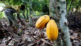 A farmer works in a cocoa farm in Bobia, Gagnoa, Ivory Coast